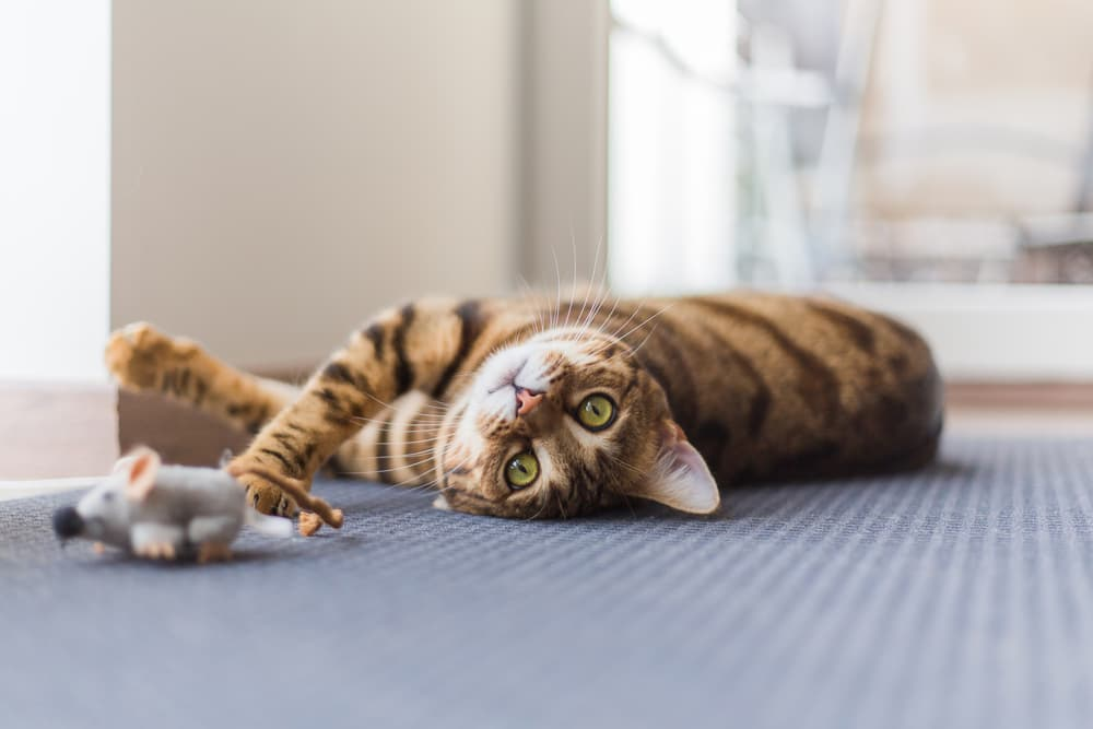 Preventing cystitis in cats