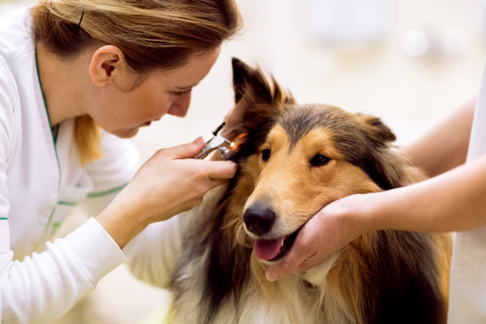 Vet diagnosing dog ear mites