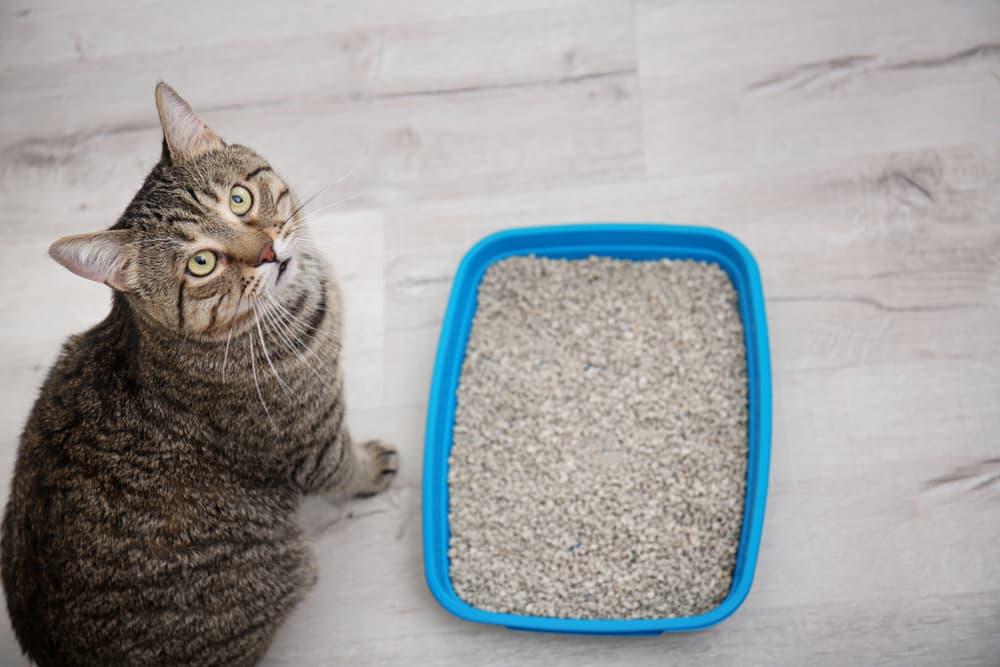 FLUTD symptoms in cats