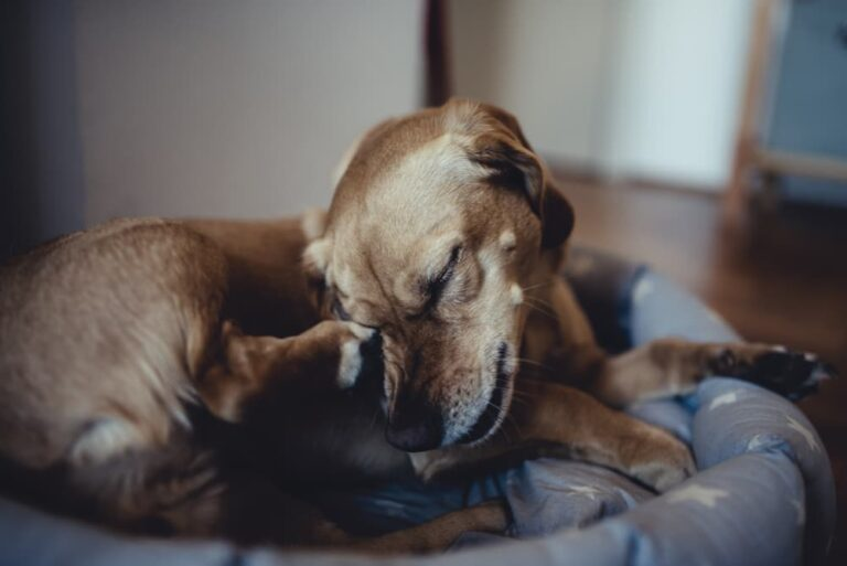 A dog potentially suffering from a staph infection