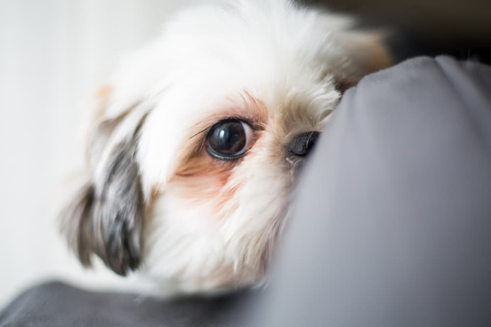 Treating dog liver disease
