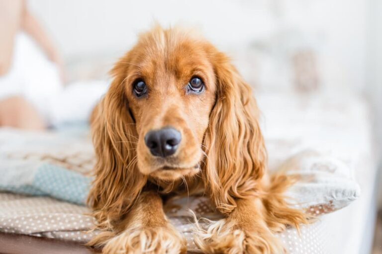 Dog with liver disease