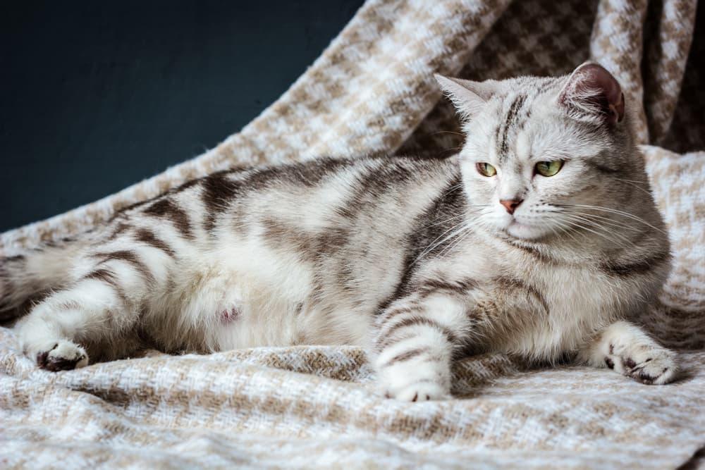 cat pregnancy signs
