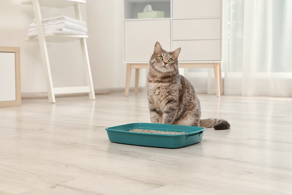 Symptoms of constipation in cats