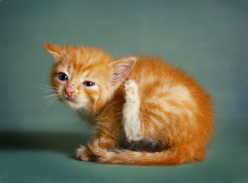 Symptoms of ear mites in cats