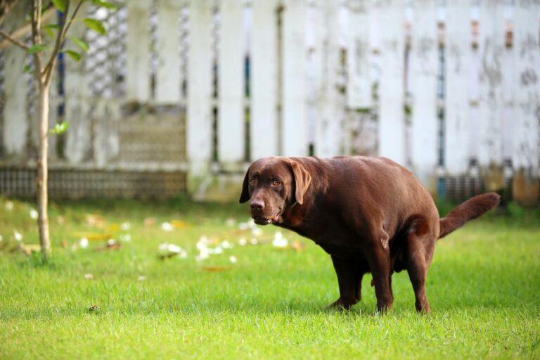 Dog with gastroenteritis