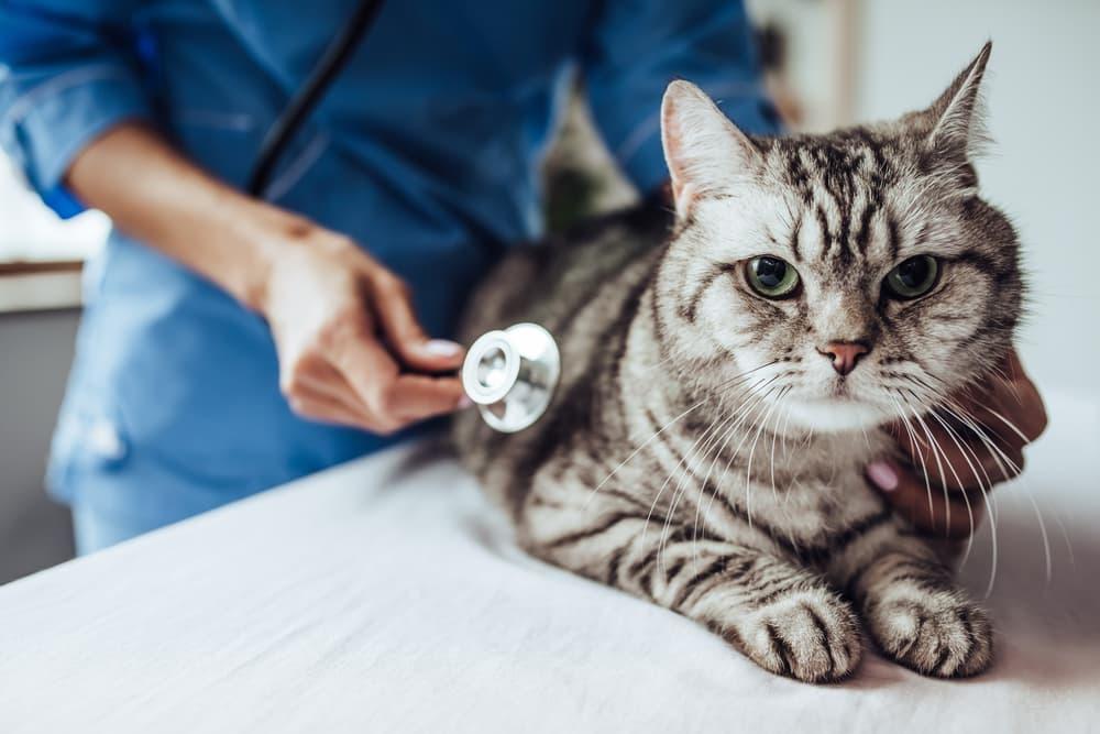 vet treating a cat with hyperthyroidism