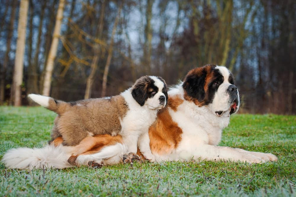 Causes of autoimmune diseases in dogs could be genetic
