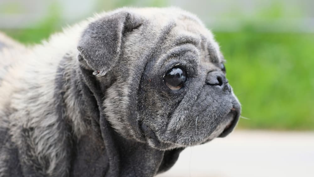 causes of seborrhea in dogs