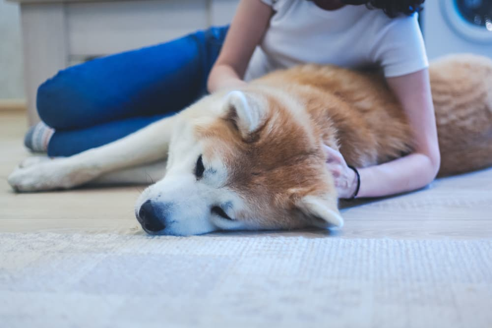 Causes of beagle pain syndrome