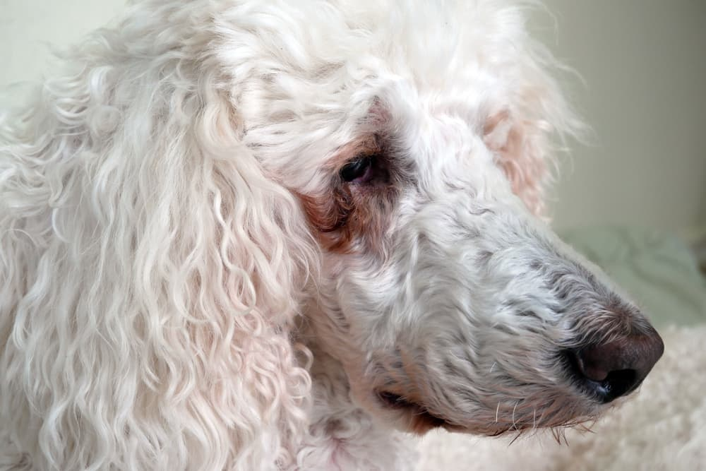 How to Get Rid of Tear Stains on Dogs | Great Pet Care