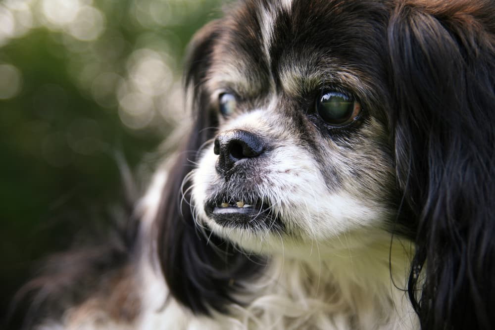 symptoms of cataracts in dogs