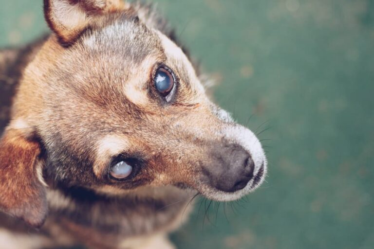 Dog with cataracts