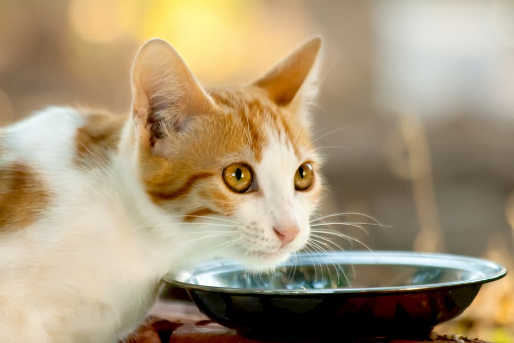 Cat showing symptoms of dehydration in cats