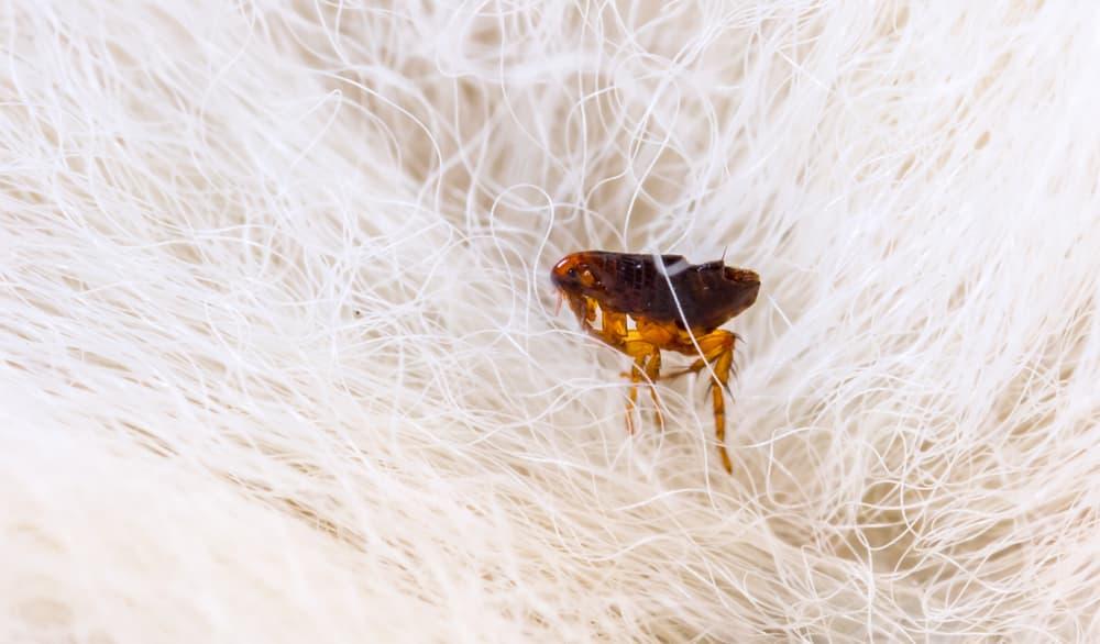 flea in fur in the home