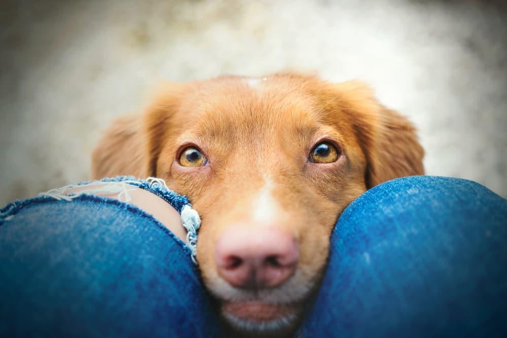 Dog staring at pet parent