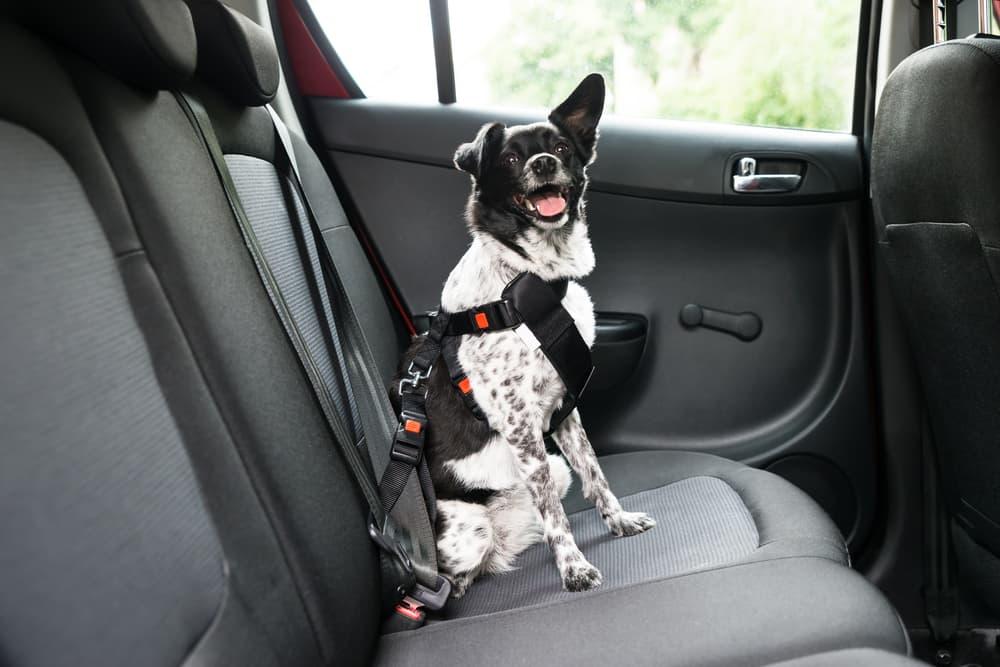 dog wears pet seat belt in car