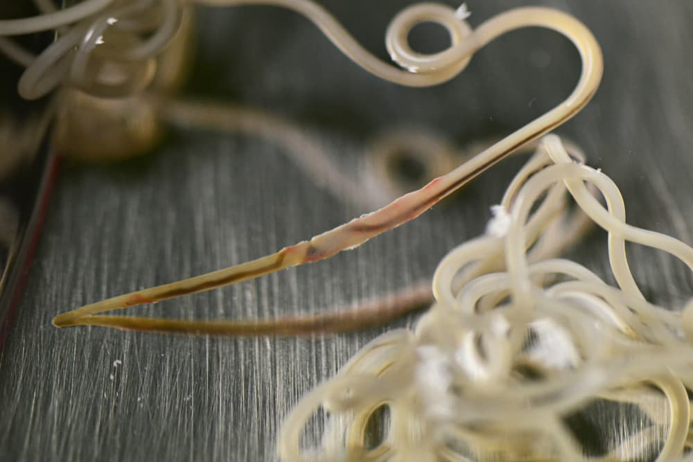 adult heartworms removed from dog