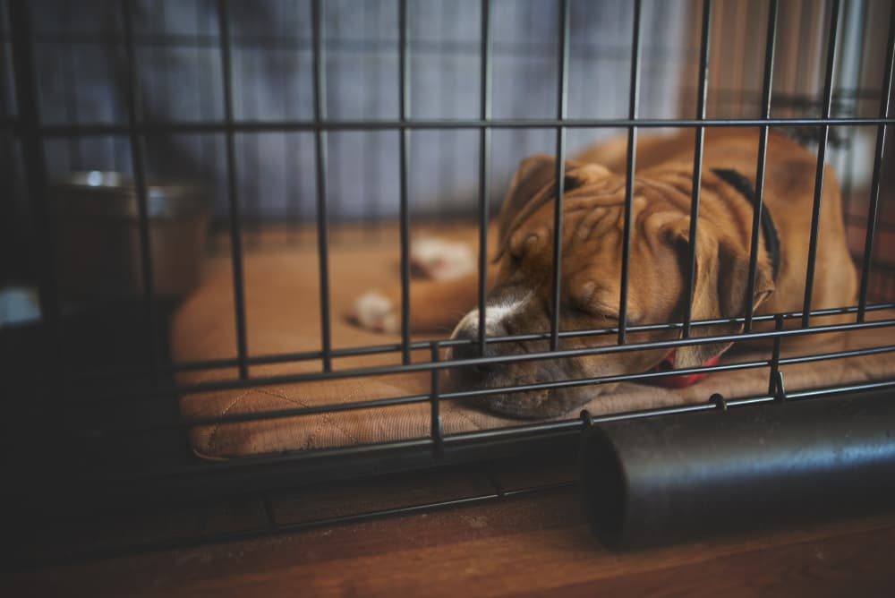 dog rests in crate