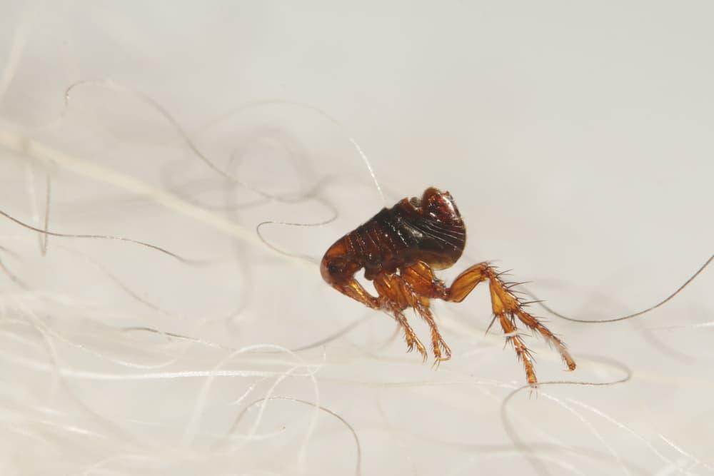 closeup of flea