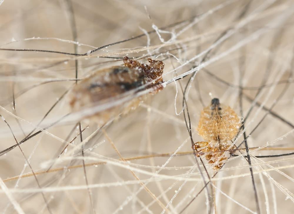 closeup of dog lice