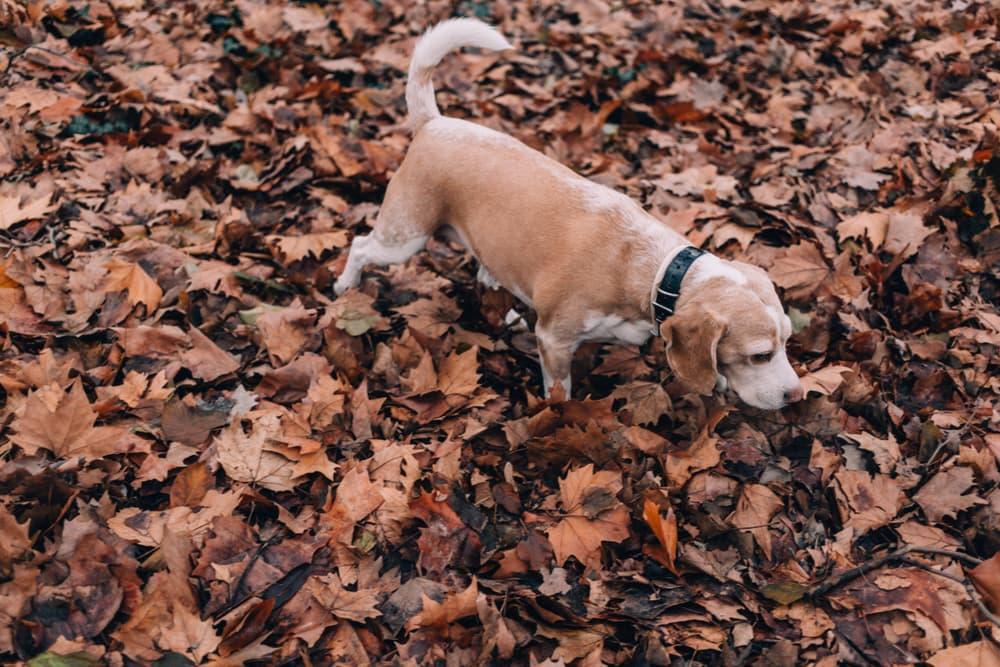 dog sniffs leaves