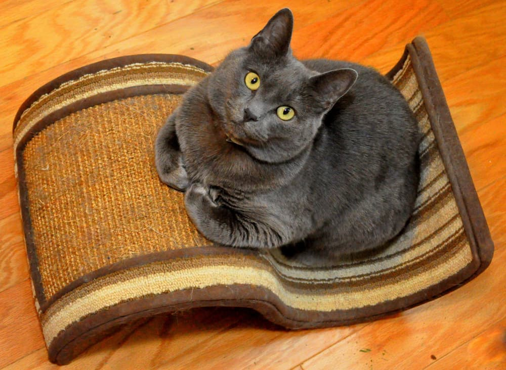 Cat trained to use scratching post