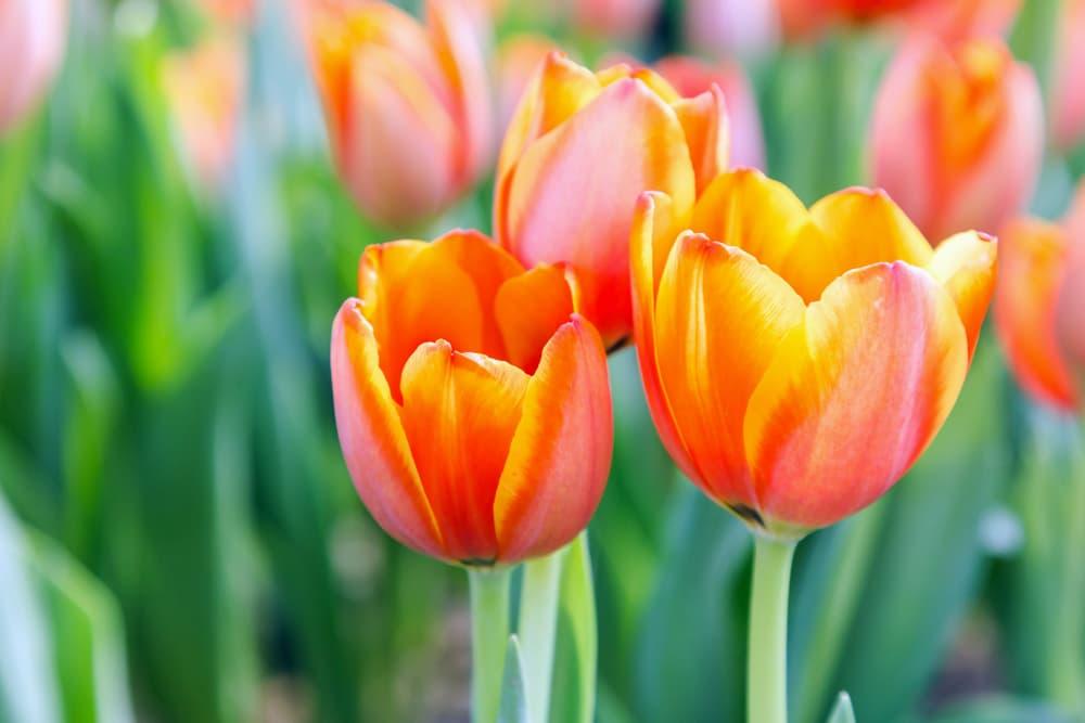 tulip flowers outside