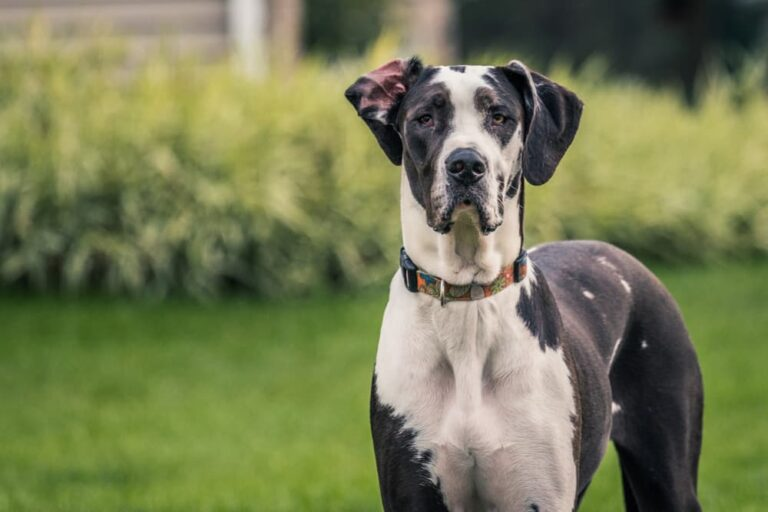 Great Dane with hip dysplasia