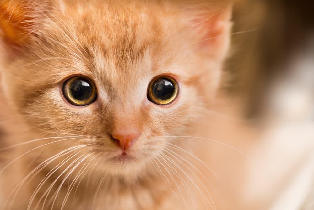kitten experiencing stress
