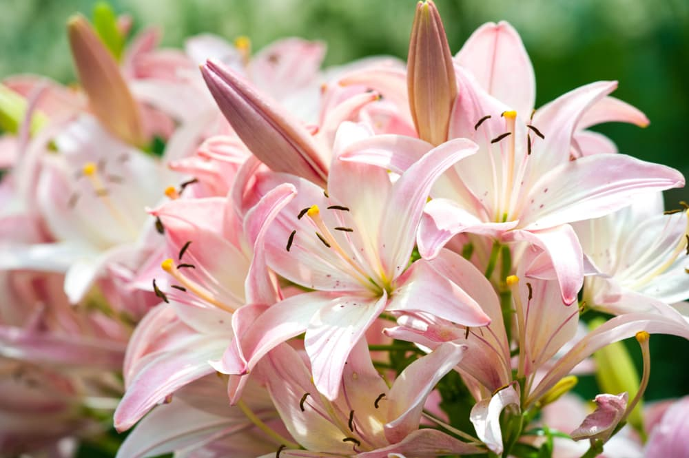 pink Lillies outside