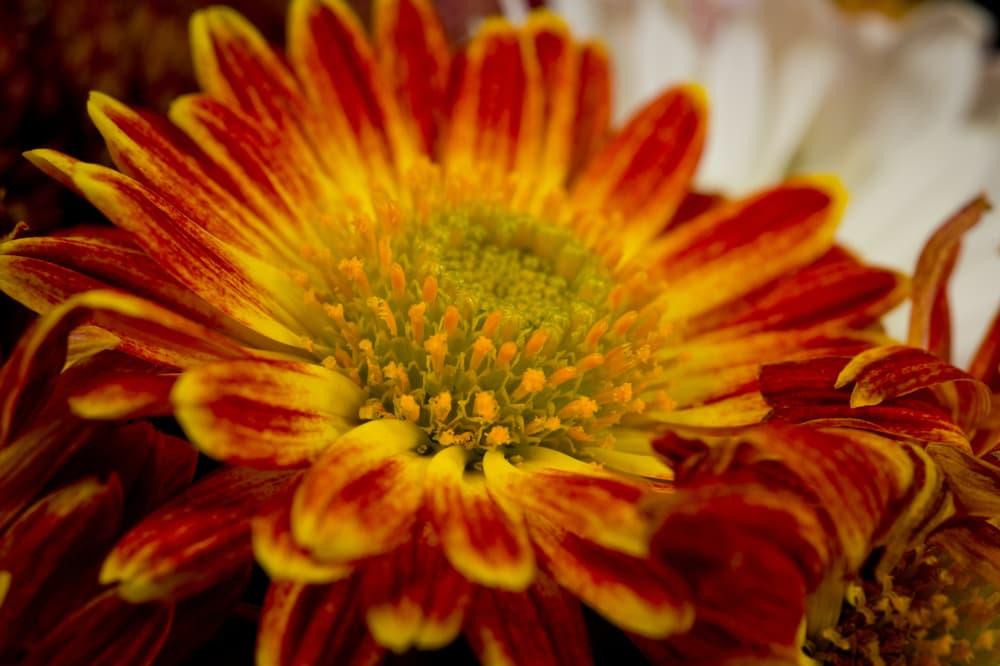 closeup of mum flower