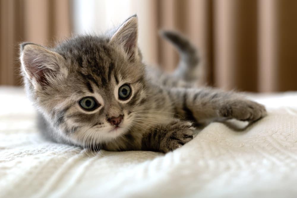 kitten lying on bed