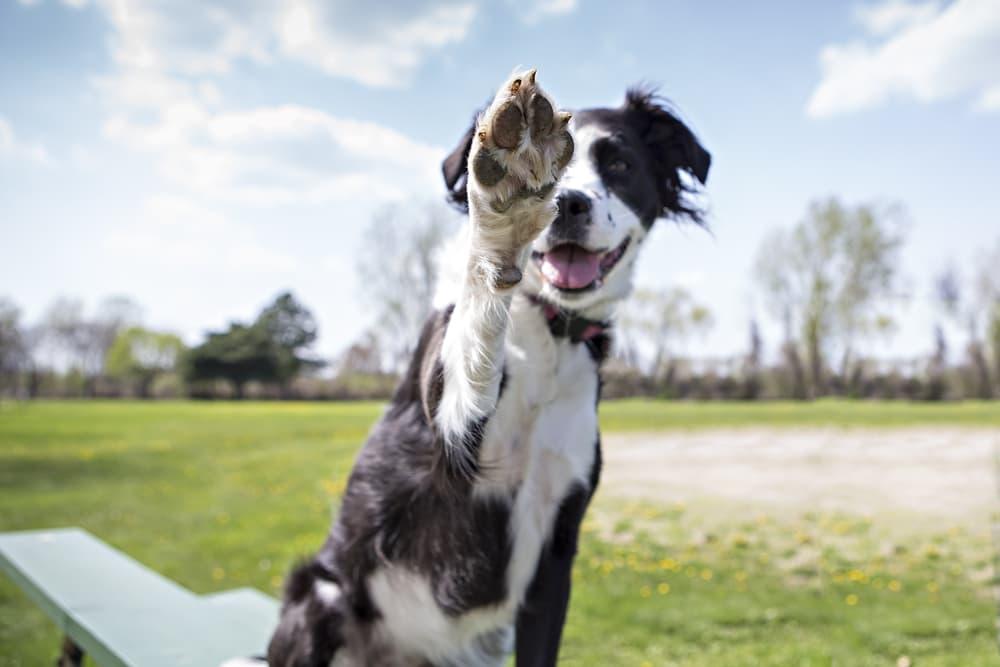 Dog giving high five