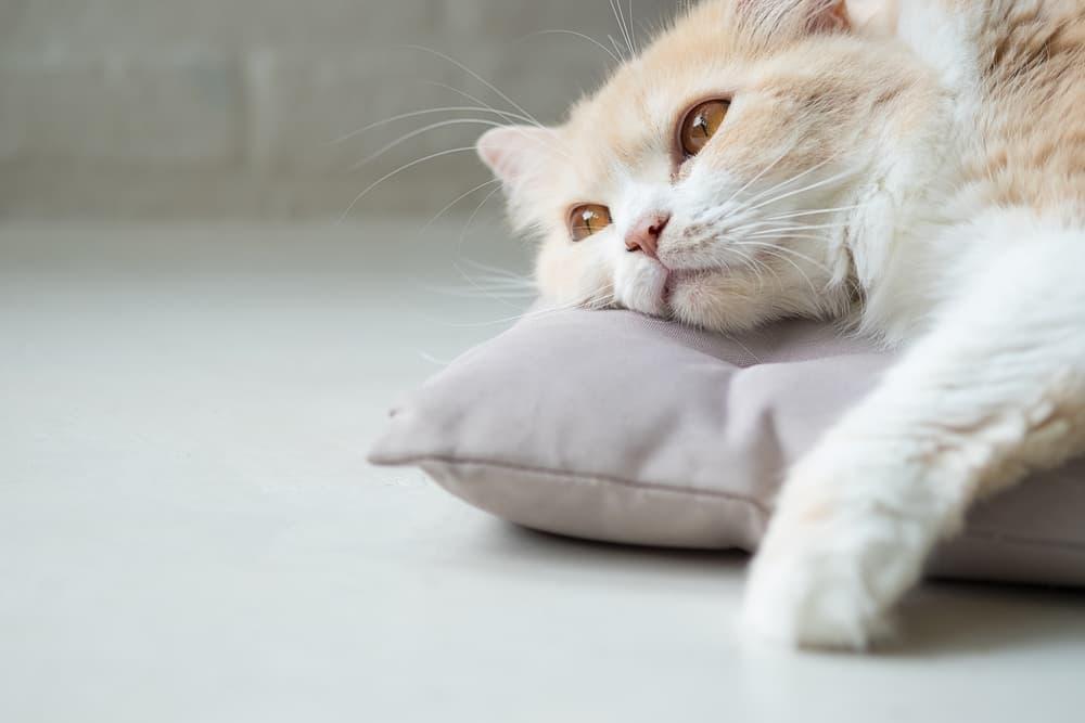 Sick cat lying on pillow