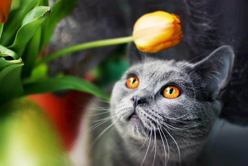 Cat looking at tulip