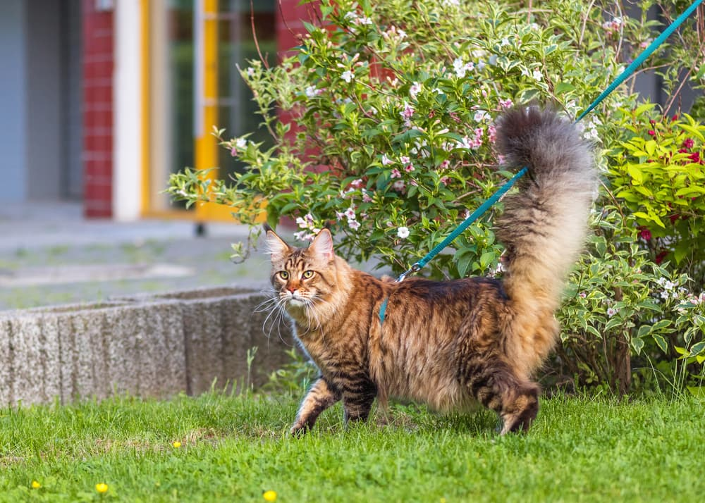 Cat on leash in yard