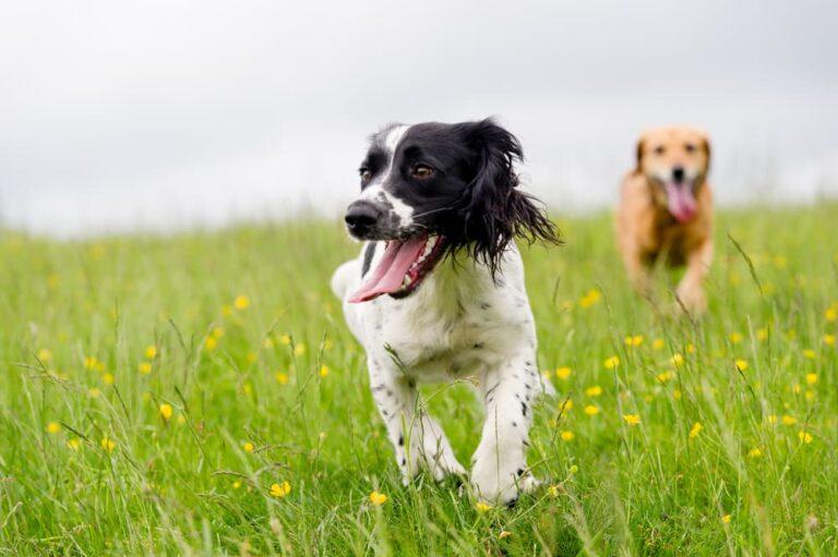 dogs run in field