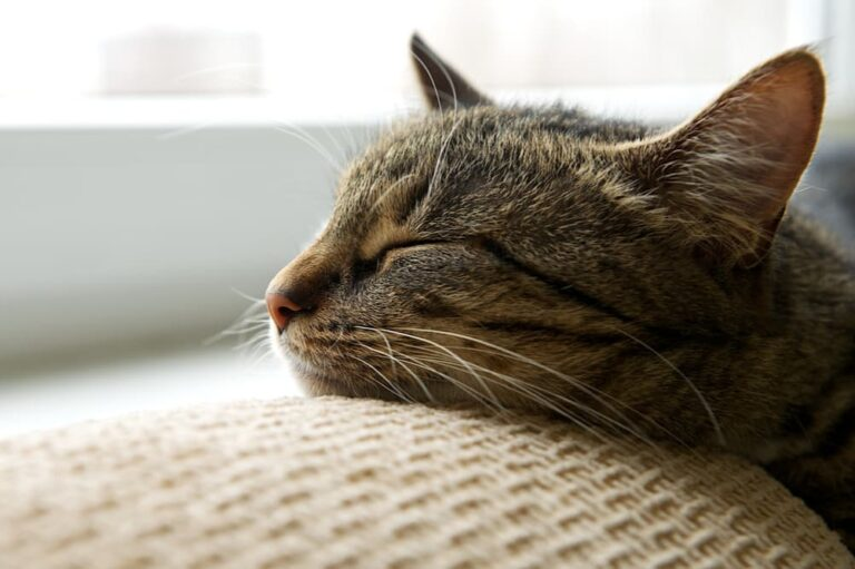 Lethargic cat snoozing on the couch