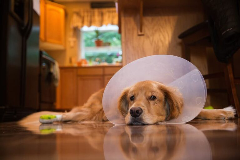 Dog wearing cone laying on floor