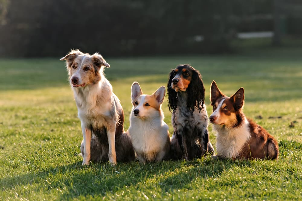 Group of dogs in field looking confused