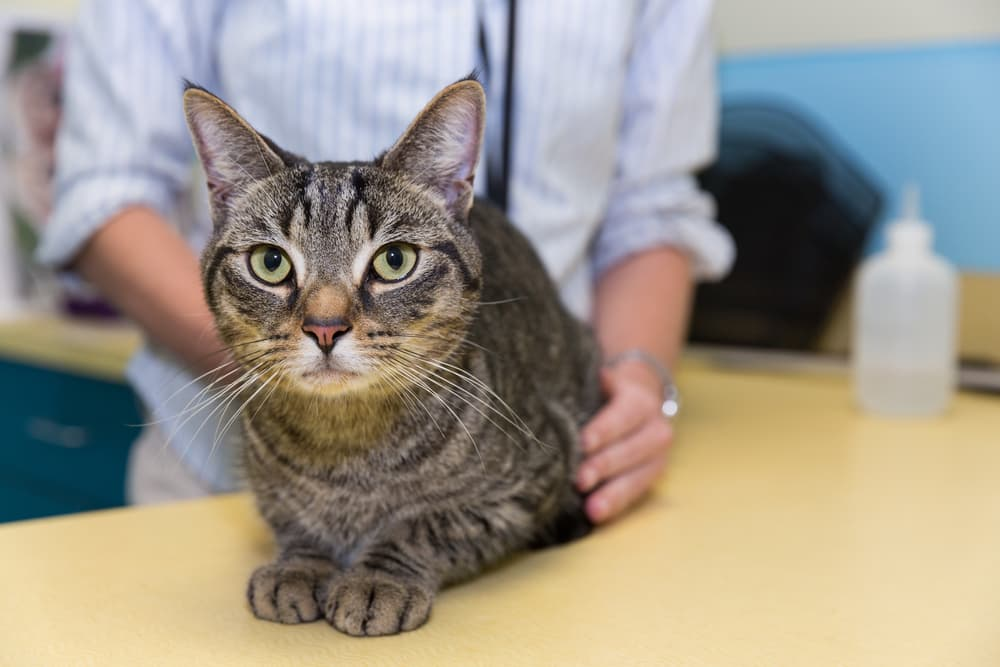 Cat sitting with veterinarian