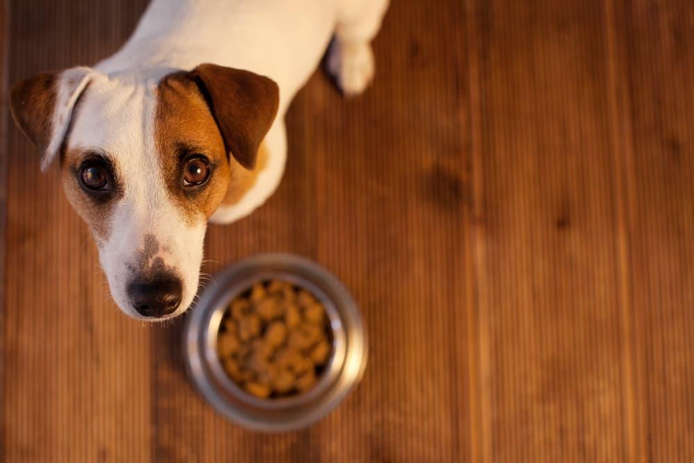 Dog looking up at owner above dog food bowl