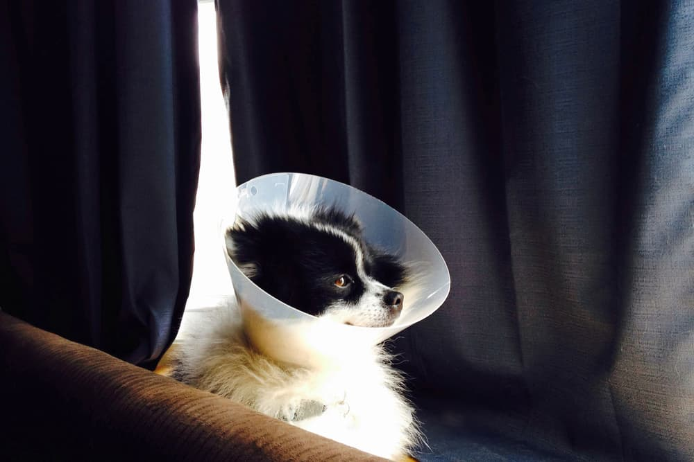 Dog sitting uncomfortably wearing a cone