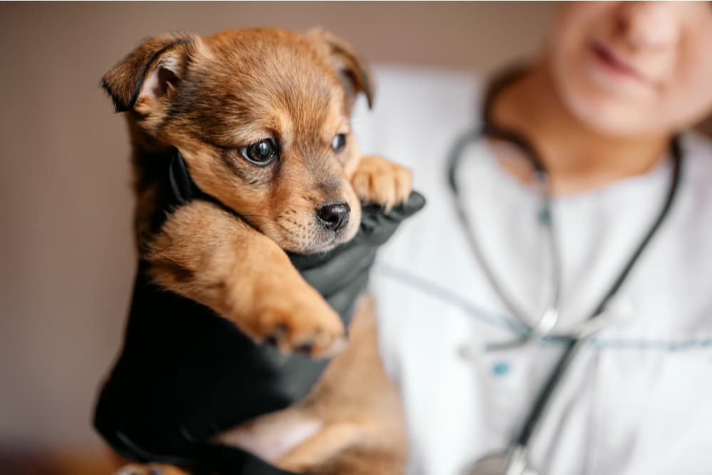 Puppy being examined at the veterinarian