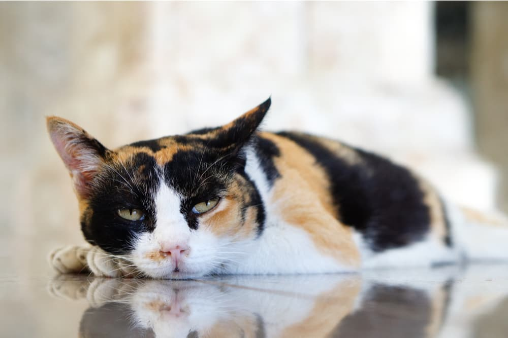 Lethargic cat laying on the ground
