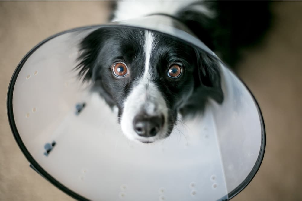 Dog looking up sadly at owner while wearing a cone