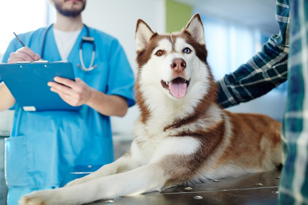 Dog at the vet being examined