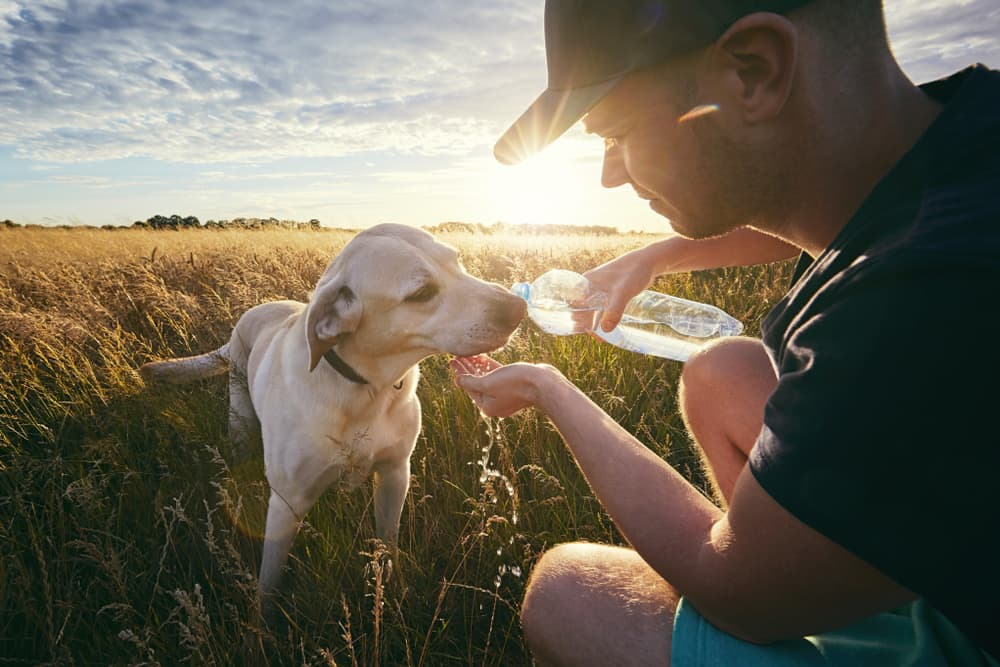 Owner giving dog water in a field in summer