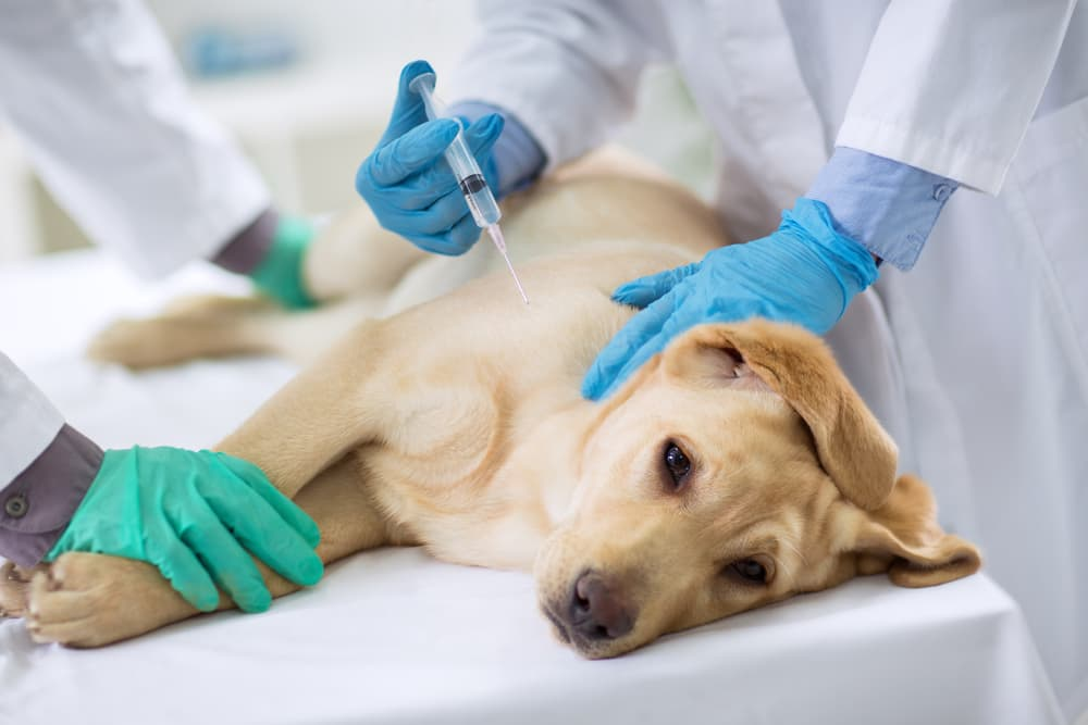 Puppy at veterinarian getting a vaccine